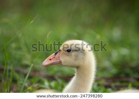 Cute young swan in the garden - stock photo