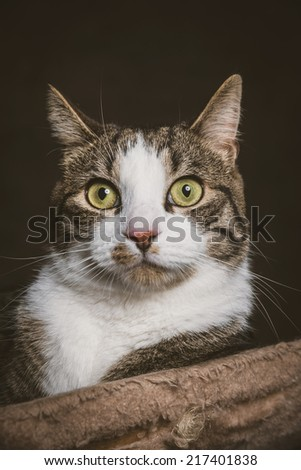 Cute young tabby cat with white chest lying on scratching post against dark fabric background. Studio shot.
