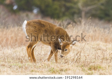 Cute young whit tailed deer eating,  shot taken in Rhode Island - stock photo