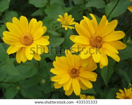 Cutleaf coneflower (rudbeckia) yellow flowers.
