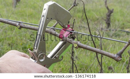 cutting and tying branches in vineyard in spring - stock photo