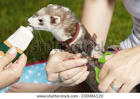Cutting ferret nails and rewarding in park - stock photo