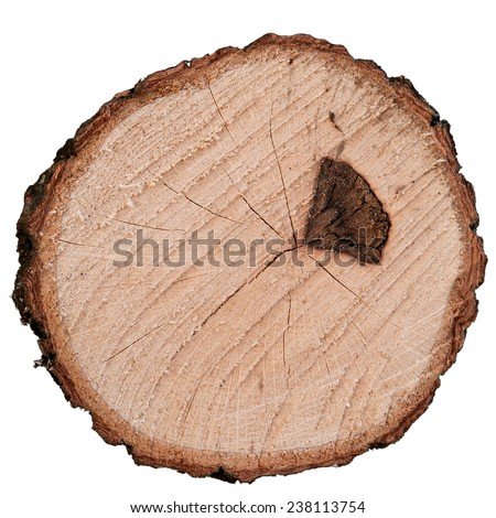Cutting of oak tree with scar from forest fire on white