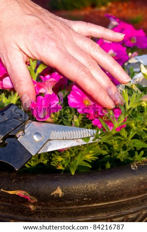 Cutting off the seedpods on petunias