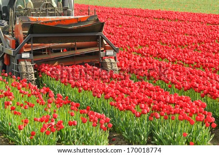 Cutting tulips - Tulip cultivation in the Netherlands, agricultural machine cuts off the flowers to raise the bulbs - stock photo