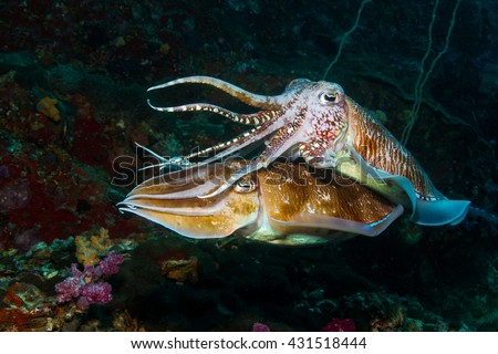 cuttle fish - stock photo