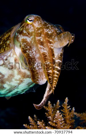 Cuttlefish (cephalopod) floating above coral with a raised tentacle, on a dark background. Taken in the Wakatobi, Indonesia.
