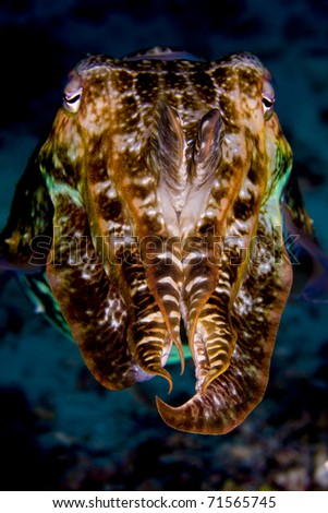 Cuttlefish (cephalopod) looking into camera with tentacles raised. Taken in the Wakatobi, Indonesia