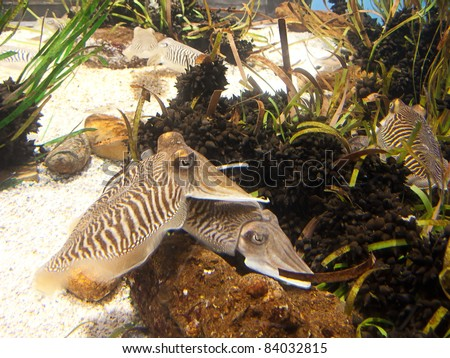 Cuttlefish close up. Underwater aquatic life - stock photo