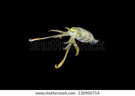 Cuttlefish in black underwater diving sea ocean scuba - stock photo
