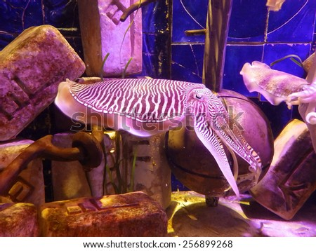 Cuttlefish in the big aquarium. - stock photo