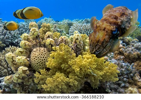 Cuttlefish on Coral Reef in the Red Sea. Egypt - stock photo