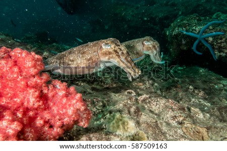 Cuttlefish Sepia  Sepiida   Andaman sea reefs Underwater Photo Rocks nature   group fiah  soft corals