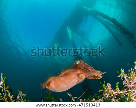 Cuttlefish under a pier on a bright day