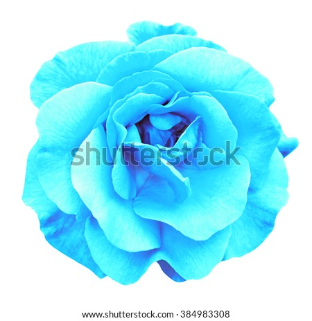 Cyan rose flower macro isolated on white - stock photo