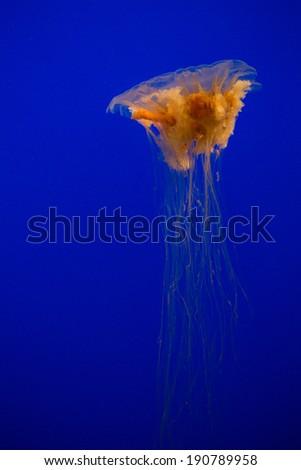 Cyanea capillata - Lion's Mane Jellyfish - stock photo