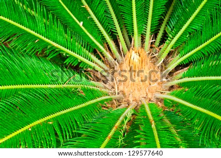 Cycad scientific name is Cycas circinalis L., Families Cycadaceae. - stock photo