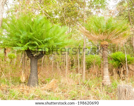 Cycads are growing on a cliff in the forest - stock photo