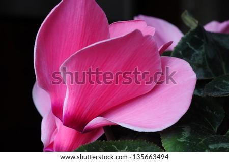 Cyclamen bloom close up - stock photo