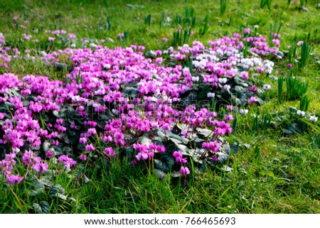 Cyclamen coum growing in natural winter garden