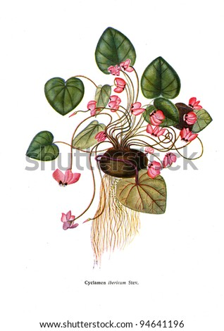 """Cyclamen ibericum Stev - an illustration from the book """"Species of flowers bulbes of the Soviet Union"""", Moscow, 1935 - stock photo"""