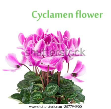 Cyclamen in a flower pot. Close-up. Isolated. - stock photo