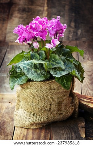 cyclamen in the pot in the bag on wooden background - stock photo