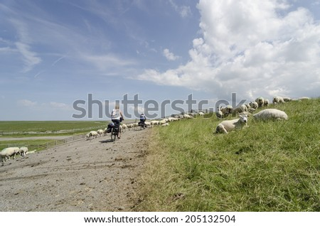 cyclist between sheep on the dike - stock photo