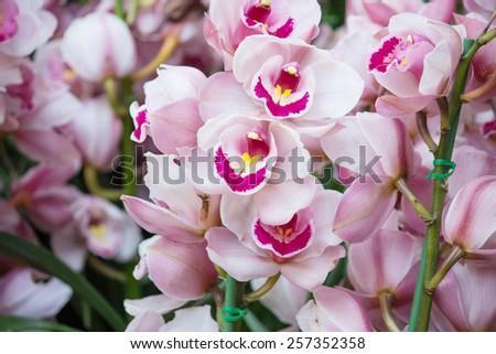 cymbidium orchid flower - stock photo