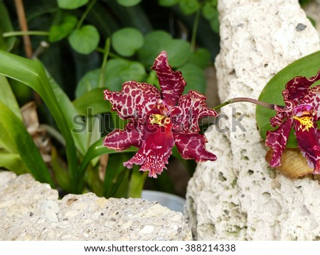 Cymbidium Strathdon 'Cooksbridge Fantasy''. A hybrid orchid - stock photo
