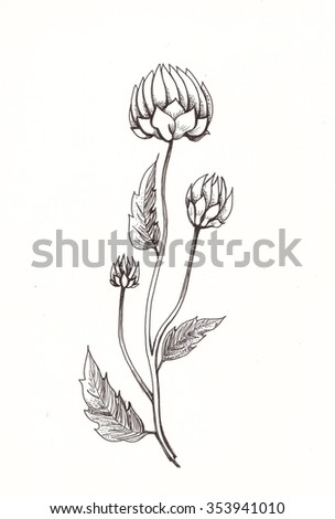 Cynara scolymus, artichoke stylized botanical illustration. Flower graphic with pencil drawing. Vintage elegant style. Thin black lines. Decorative template for cards. Ornamental motifs.