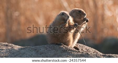 Cynomys (Prairie dog), two of them - stock photo