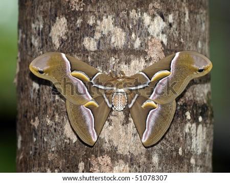 Cynthia Moth - stock photo