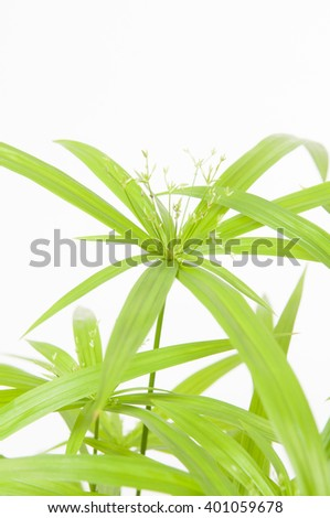 Cyperus Green Gold on white background