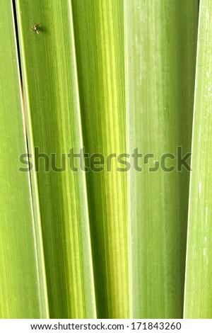 Cyperus papyrus  - stock photo