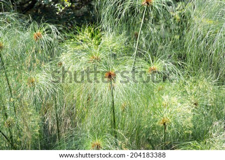 Cyperus papyrus (papyrus sedge or paper reed) - stock photo
