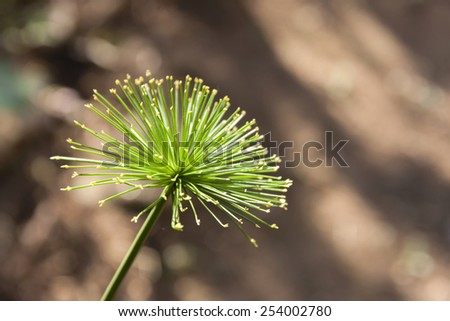 Cyperus  papyrus with blur background - stock photo
