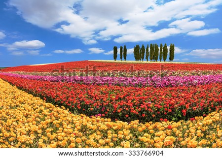 Cypress alley bordered by lovely flower field. Huge fields of garden buttercups /ranunculus/  ripened for harvesting - stock photo