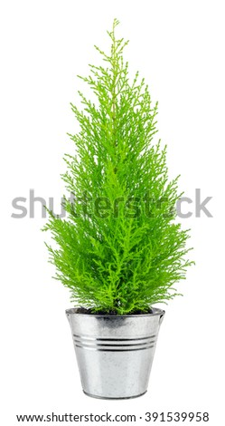 cypress flowerpot isolated on white background - stock photo