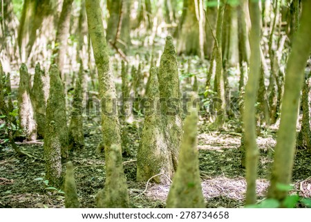cypress forest and swamp of Congaree National Park in South Carolina - stock photo