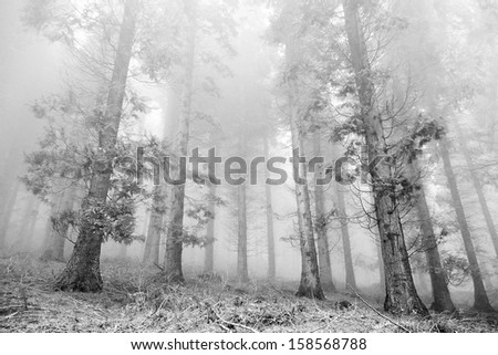 cypress forest with fog in black and white. - stock photo
