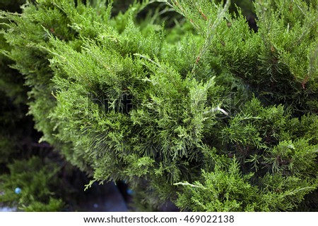 Cypress in the garden close-up. Green leaves wall background. Lush foliage of growing bushes. Natural green background. Green leaf texture. Leaf texture background