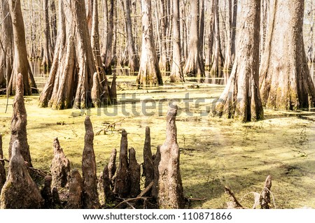 Cypress Knees and bald cypress trees in south Louisiana's, Chicot State Park