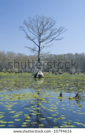 cypress tree and lilypads - stock photo