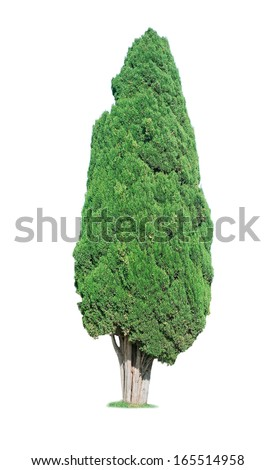 cypress tree isolated on white background