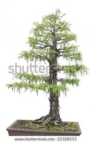 Cypress tree isolated over white background