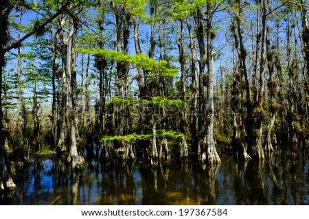 Cypress trees in the Everglades national park. - stock photo