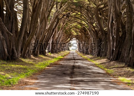 Cypress Trees Tunnel - stock photo