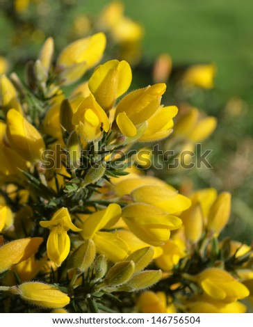 Cytisus Broom Shrub  - stock photo