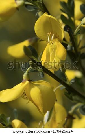 Cytisus scoparius, Common Broom, Germany - stock photo